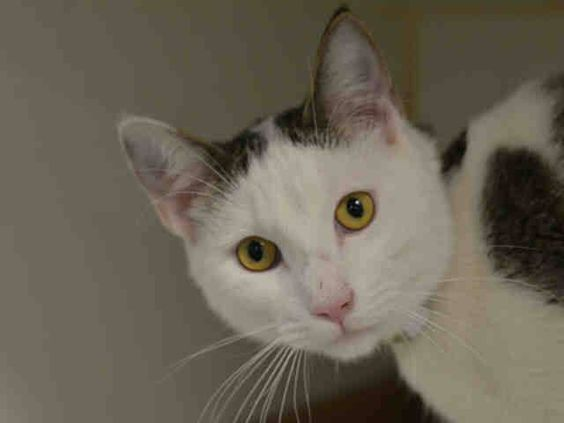 SAFE! TO BE DESTROYED 3/21/15 *NYC* HANDSOME, SWEET BOY! * Brooklyn Center * Boo Boo stays at the front of the cage seeking attention. Boo Boo allows handling. Boo Boo is displaying behavior appropriate for new or experienced cat parents. *   My name is BOO BOO. My Animal ID # is A1029484. I am a male white and brn tabby dom sh.  I am about 2 YEARS   I came in as a STRAY on 03/05/2015 from NY 11212, ABANDON.
