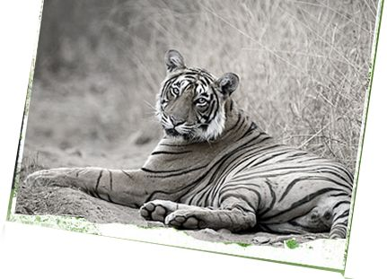 The Machli- Tigress Queen of Ranthambore National Park: