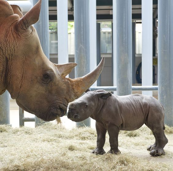 Who knew a rhino could be so cute! This is a newborn, born May 4, 2012 at Disney's Animal Kingdom