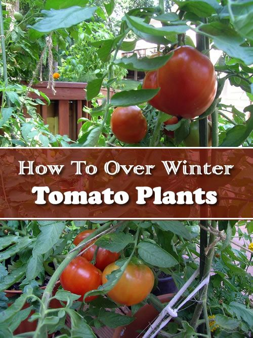 How To Over Winter Tomato Plants Winter Vegetables Gardening Tomato Plants Growing Vegetables