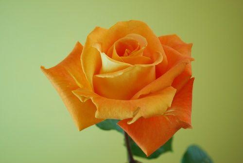 'Voodoo' rose