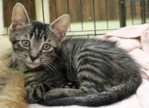 .Raisin is an adoptable American Shorthair Cat in Pikesville, MD. Raisin is a Brown Tabby Shorthair. She is very energetic and playful. She loves to play with other cats and kittens. Meeting adoptabl...