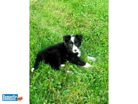 Rascal Male Border Collie Collie Puppies Collie Border Collie Puppies