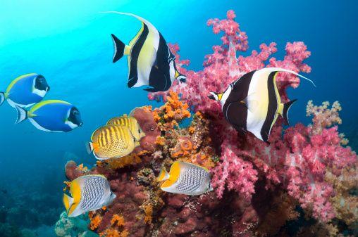 Reef fish blue tangs moorish idols butterfly fish for Blue saltwater fish