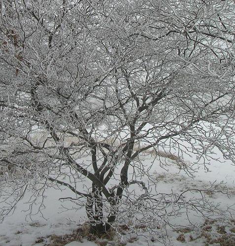 winter Serviceberry Tree