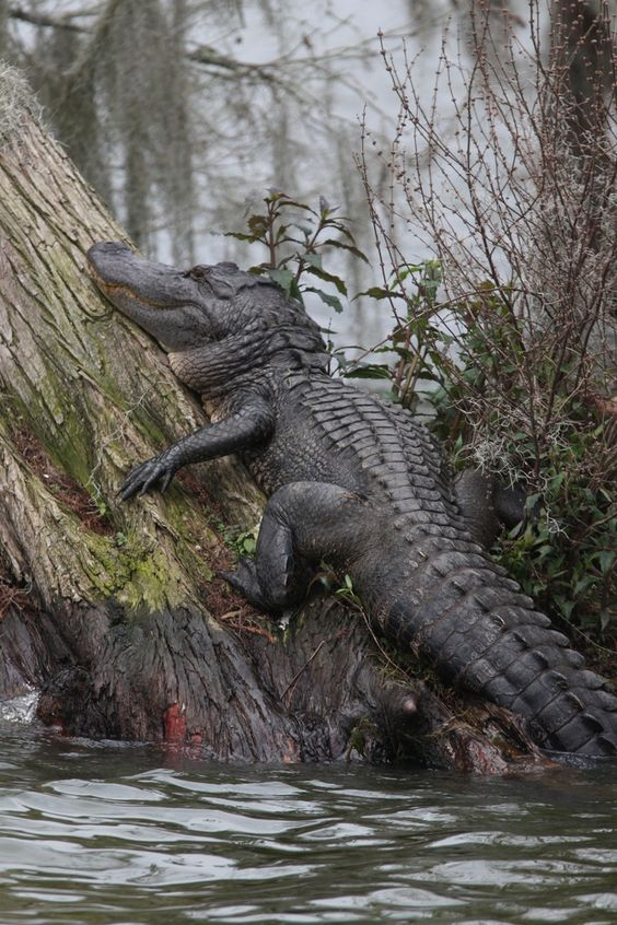 Alligator - Lake Martin Louisiana Swamp | Wildlife ...