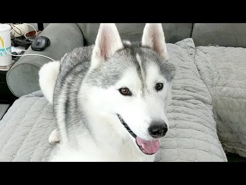 Gone To The Snow Dogs Youtube Snow Dogs Dogs Husky Breeds