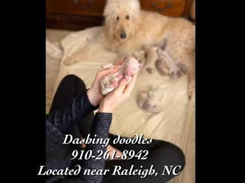 Standard And Moyen Goldendoodle Puppies For Sale In Nc Near
