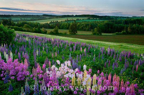 Prince Edward Island Flowers