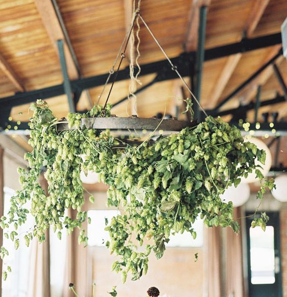Hanging chandelier of green hops - hang from the ceiling like green grapes.