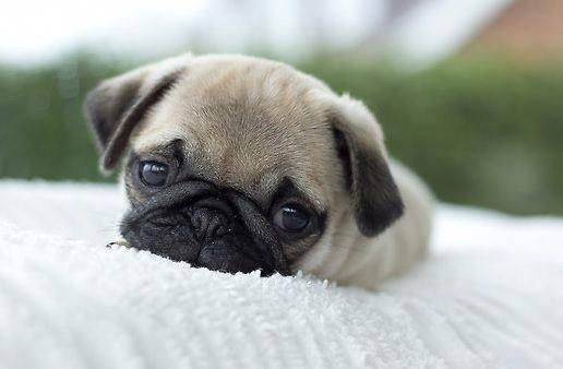 Baby Pug Dog Price In Mumbai Baby Pugs Cute Pug Puppies Pug