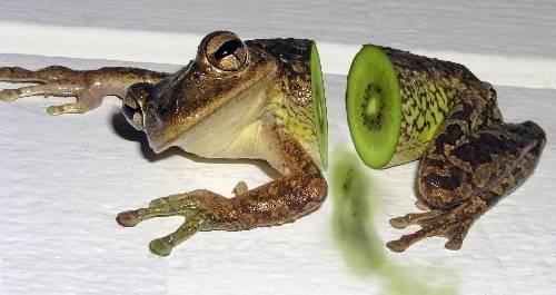 Image result for frog kiwi