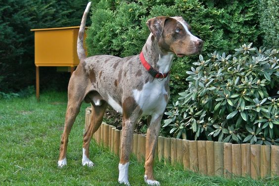 The #Catahoula dog breed has a history that extends way back from prehistory. One theory posits that they were bred from red wolves or red war dogs.