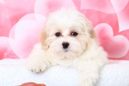 Maltipoo Puppy For Sale In Bel Air Md Adn 63448 On Puppyfinder