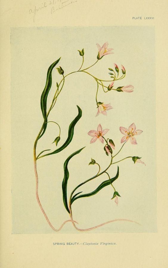 Wild Flower I New York I Scribner's I 1893
