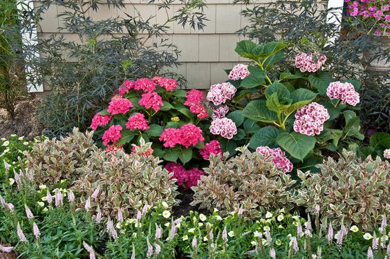 Shrubs monet and hydrangeas on pinterest for Easy maintenance bushes