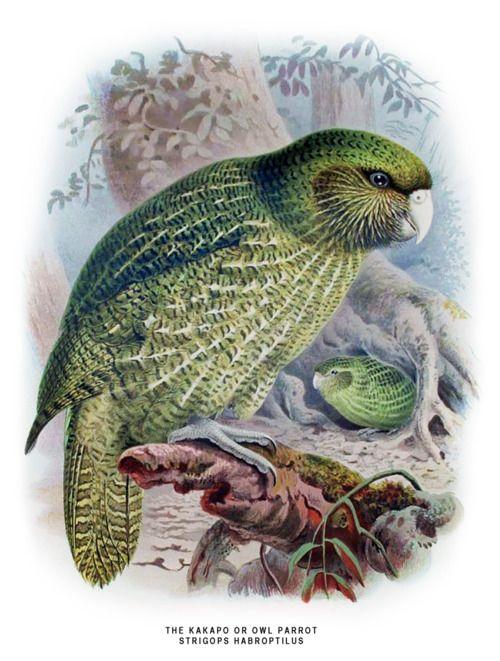 Strigops habroptila - The Kakapo  A History of the Birds of New Zealand. W.L. Buller, 1888
