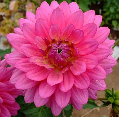Hot pink flowers, The plant and Pink flowers on Pinterest