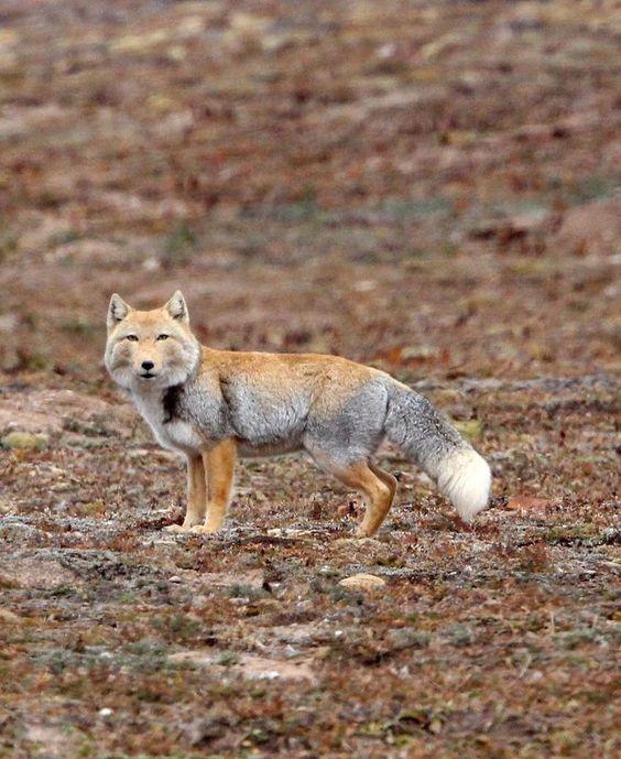 Tibetan Fox by Som & Coke Photography