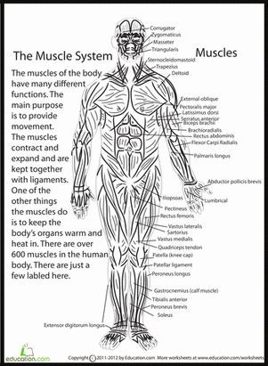 Worksheets Muscle Identification Worksheet muscle identification worksheet diagram worksheets for school pigmu