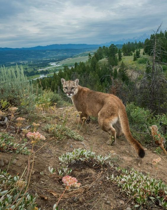 A cougar, photographed by a camera trap along a busy game trail above the Buffalo Fork River near Grand Teton National Park by Charlie Hamilton James