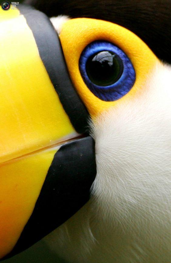 A Toco Toucan: Animal Eyes, Animal Theme, Brazilian Toucan, Birds Eye View, Blue Eyes, Beautiful Birds, Colourful Toucan, Close Up