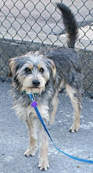 sparky - airedale terrier  schnauzer mix - male