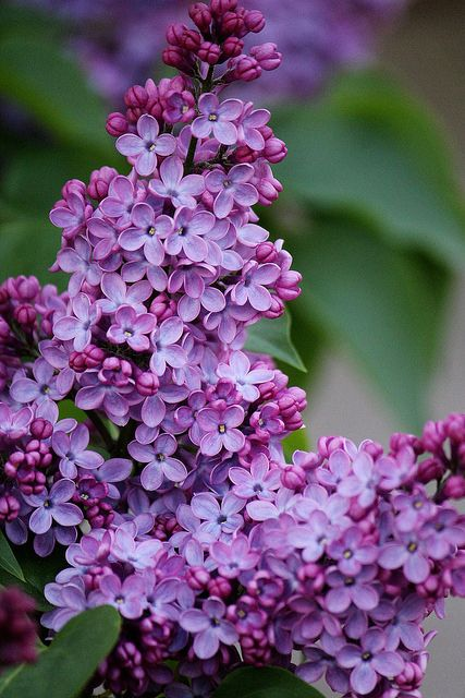 We had two large lilac trees beside my house when I was young. My sister and I use to pick the flowers and suck out the honey. What a beautiful smell too.: