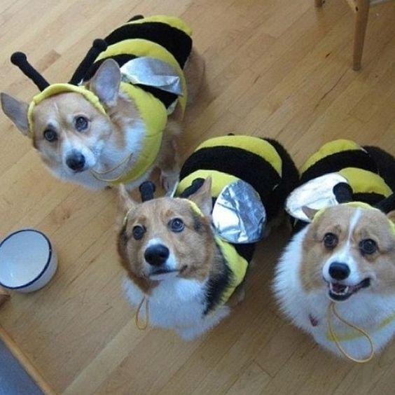 The Corgi buzz.