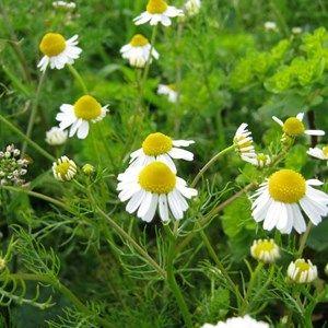 البابونج Herbs Plants Health Fitness