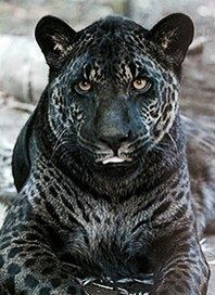 Pseudo-Melanistic ... Partially Black Leopard | MELANISTIC ...