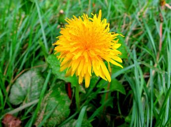 Fotografia - Comunidad - Google+ Flor de diente de león.