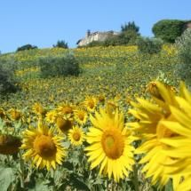 Sunflowers in Umbria