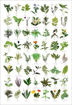 items for sale herb identification poster from wildforms of uk gardening for wildlife. Black Bedroom Furniture Sets. Home Design Ideas