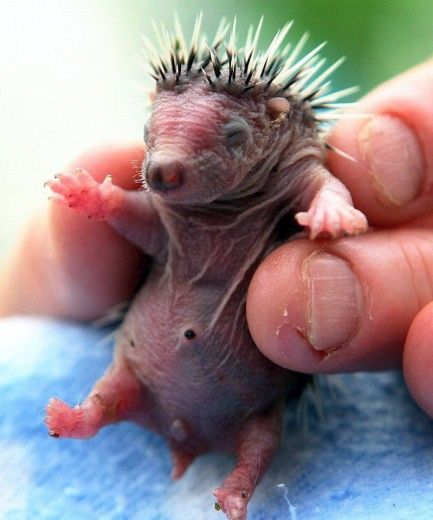 пятнишные ежи Two day old baby hedgehog: