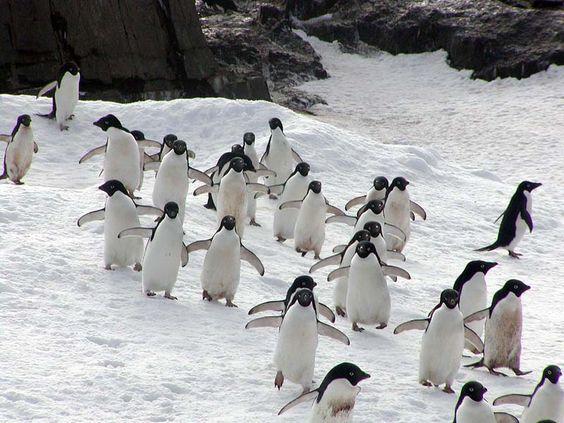 pinguins na neve