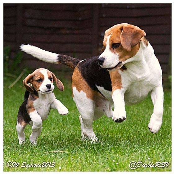 Beagle adults just as gorgeous as the pups