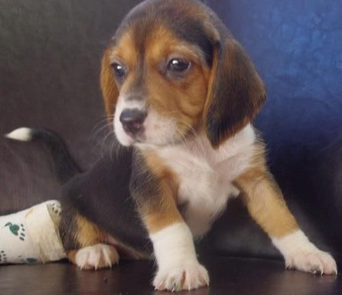 Image Detail For Beautiful Rottweiler Puppies Gif Beagle Rottweiler Easiest Dogs To Train Dog Trends