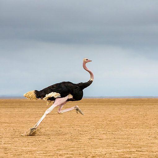 BRD 06 KH0002 01 © Kimball Stock Ostrich Running In Kenya