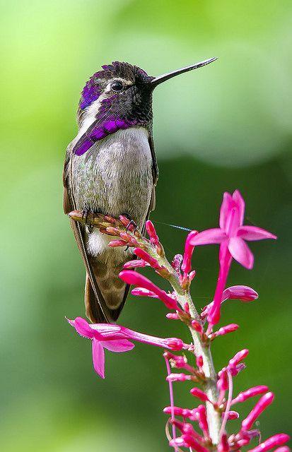 A Costas Hummingbird. (Photo By: Pedro Lastra.):