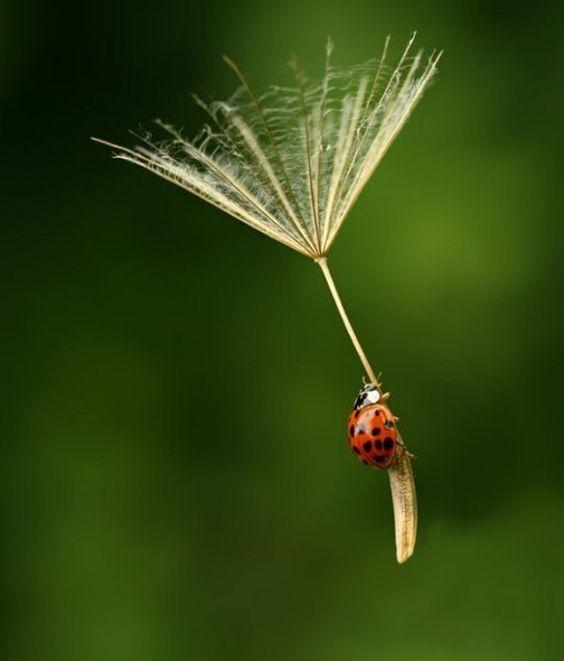 hitching a lift!  #ladybug