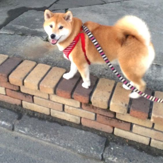 OLA K ASE SOY DOGE Lele Videos Pinterest Doge - Ryuji the shiba inus endless expressions will melt your heart