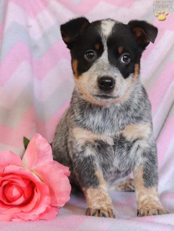Ruth Blue Heeler Puppy For Sale In Milroy Pa Bff Puppies Blue Heeler Puppies Heeler Puppies Blue Heeler
