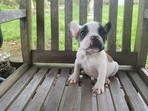 French Bulldog Puppy For Sale In Houston Tx Adn 68032 On