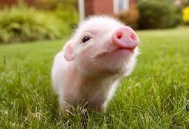 filhote de porquinho