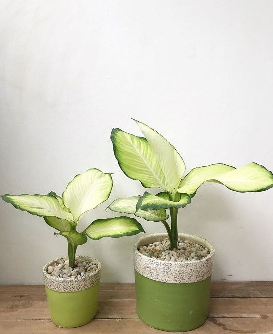 17 Best Indoor Dieffenbachia Varieties In 2020 Plants Plant Aesthetic Indoor Plants