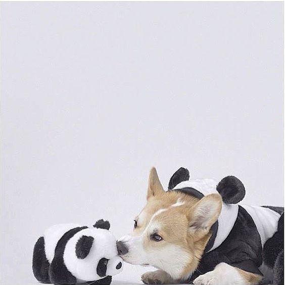 Just cute >.< #corgi #panda by panda_f5