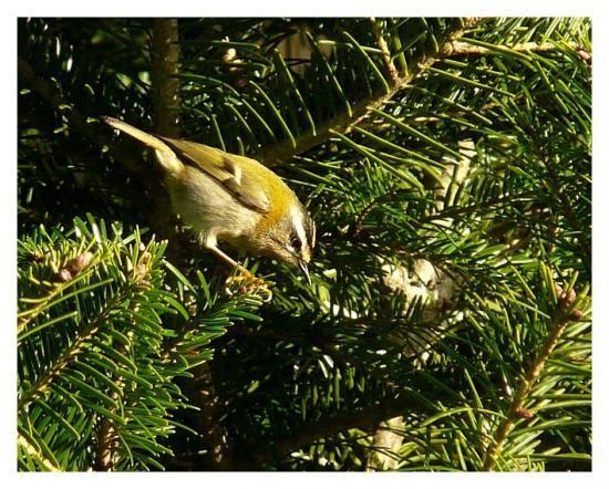 Roitelet triple bandeau naturepassion oiseaux de nos for Oiseaux de nos jardins en belgique