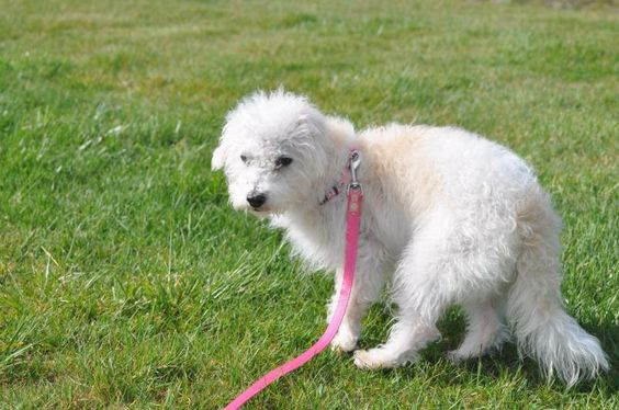 Meet Olivia, a Petfinder adoptable Poodle Dog | Olympia, WA | Olivia is a little sweet, mellow, loving 2 year old Terripoo (Terrier Poodle mix) that was rescued...