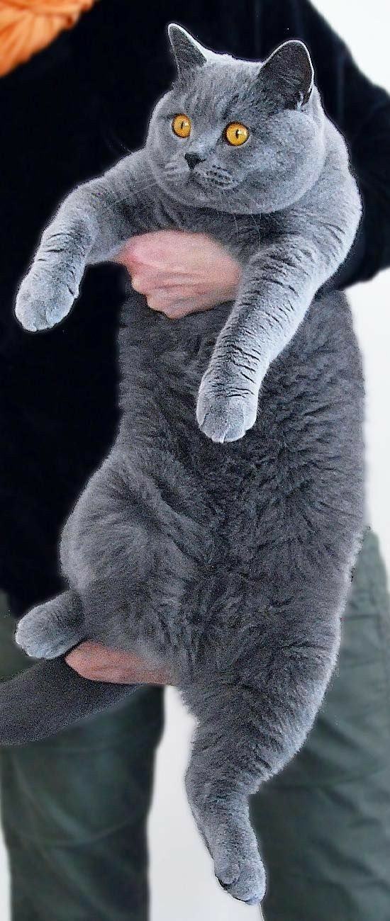 Chunky Cutie British Blue Cat British Shorthair Kittens Cute Cats
